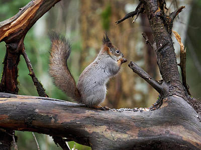Photograph - Red Squirrel Framed by Jouko Lehto