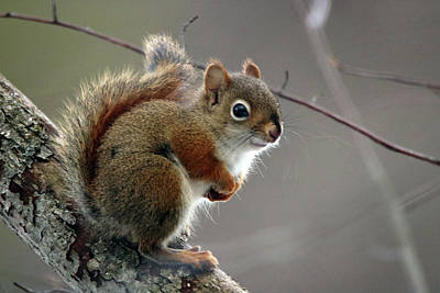 Photograph - Red Squirrel by Gerald Salamone