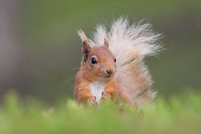 Photograph - Red Squirrel In Vegetation by Peter Walkden