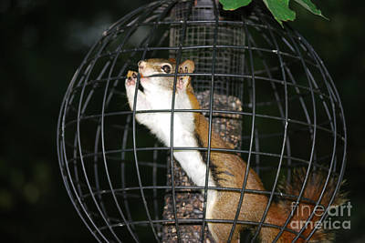 Red Squirrel Jail Art Print