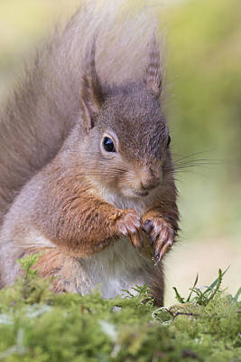 Photograph - Red Squirrel - Scottish Highlands #1 by Karen Van Der Zijden