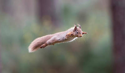 Photograph - Red Squirrel Leaping by Peter Walkden