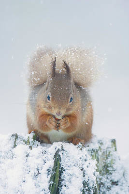 Photograph - Red Squirrel Nibbles A Nut In The Snow by Peter Walkden