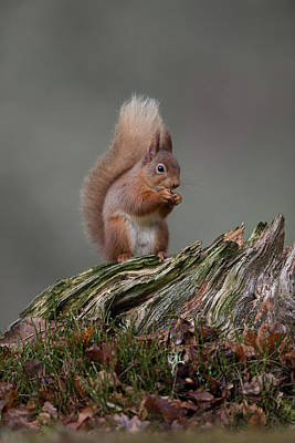 Photograph - Red Squirrel Nibbling A Nut by Peter Walkden