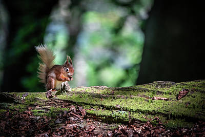 Photograph - Red Squirrel On Tree by Framing Places