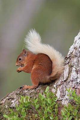 Photograph - Red Squirrel On Tree by Peter Walkden