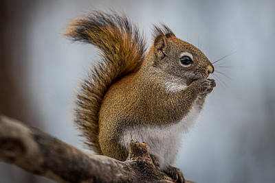 Red Squirrel Print by Paul Freidlund