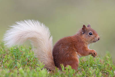 Photograph - Red Squirrel Pauses by Peter Walkden