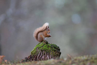 Photograph - Red Squirrel Peeling A Hazelnut by Peter Walkden