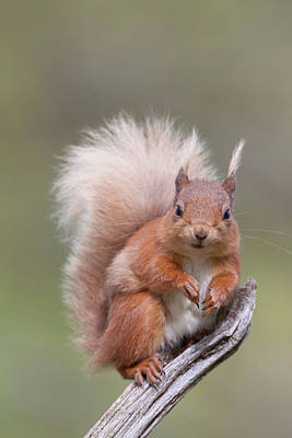 Photograph - Red Squirrel by Peter Walkden