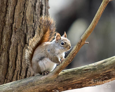 Photograph - Red Squirrel by Phil Spitze