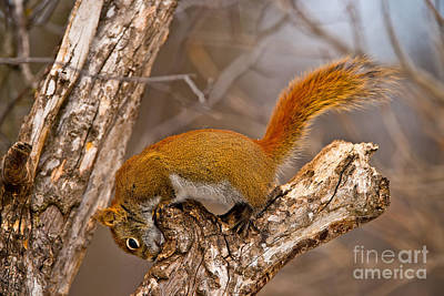 Red Squirrel Pictures 145 Original by World Wildlife Photography