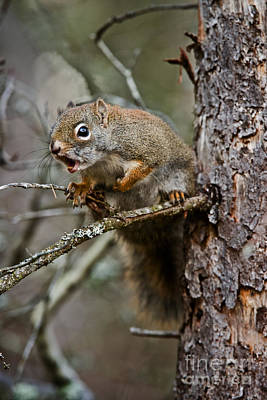 Red Squirrel Pictures 161 Original by World Wildlife Photography