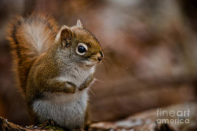 Red Squirrel Pictures 170 Original by World Wildlife Photography