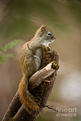 Red Squirrel Pictures 183 Original by World Wildlife Photography