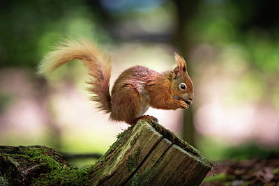 Photograph - Red Squirrel Profile by Framing Places