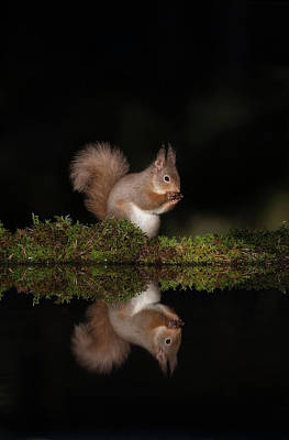 Photograph - Red Squirrel Reflection by Peter Walkden
