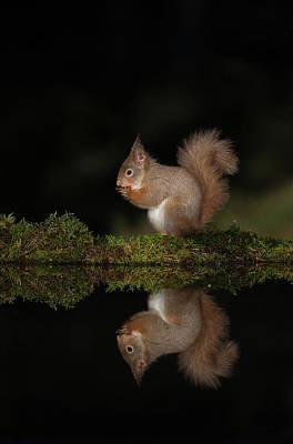 Photograph - Red Squirrel Reflects by Peter Walkden