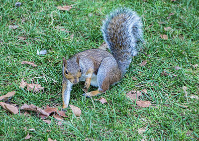 Photograph - Red Squirrel, Regents Park, London by Venetia Featherstone-Witty