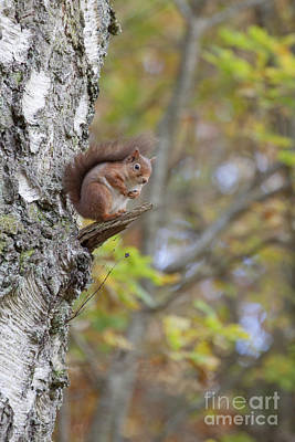 Photograph - Red Squirrel - Scottish Highlands #11 by Karen Van Der Zijden