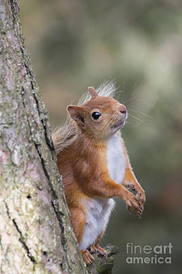 Photograph - Red Squirrel - Scottish Highlands #12 by Karen Van Der Zijden