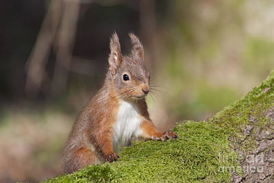 Photograph - Red Squirrel - Scottish Highlands  #14 by Karen Van Der Zijden