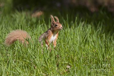 Photograph - Red Squirrel - Scottish Highlands  #16 by Karen Van Der Zijden
