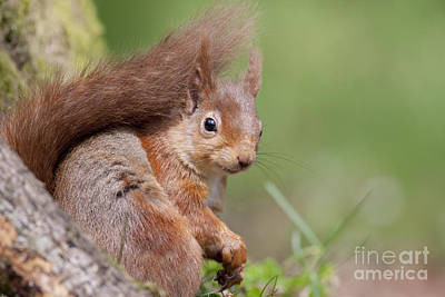 Photograph - Red Squirrel - Scottish Highlands  #17 by Karen Van Der Zijden