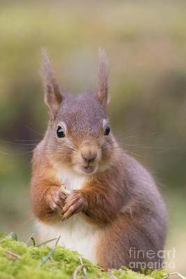 Photograph - Red Squirrel - Scottish Highlands #18 by Karen Van Der Zijden