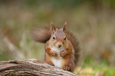 Photograph - Red Squirrel - Scottish Highlands   #22 by Karen Van Der Zijden