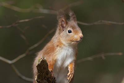 Photograph - Red Squirrel - Scottish Highlands   #24 by Karen Van Der Zijden