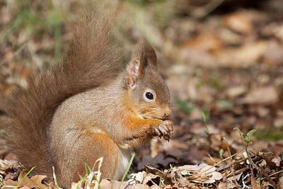 Photograph - Red Squirrel - Scottish Highlands   #25 by Karen Van Der Zijden
