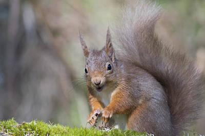 Red Squirrel - Scottish Highlands #26 Art Print