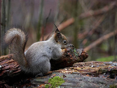 Photograph - Red Squirrel The Finder by Jouko Lehto