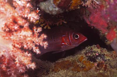 Red Squirrelfish Hiding Under Reef Art Print by James Forte