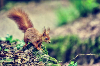 Photograph - Red Squirrell by Roberto Pagani