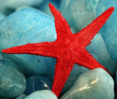 Photograph - Red Starfish by Gina Cormier