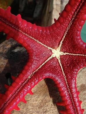 Education By Traveling Photograph - Red Starfish On A Wooden Dhow 3 Close Up by Exploramum Exploramum