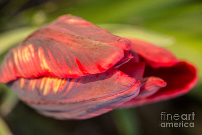 Springflowers Photograph - Red Striped Tulip by Iris Richardson