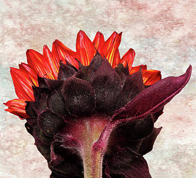 Photograph - Red Sunflower by Judy Vincent
