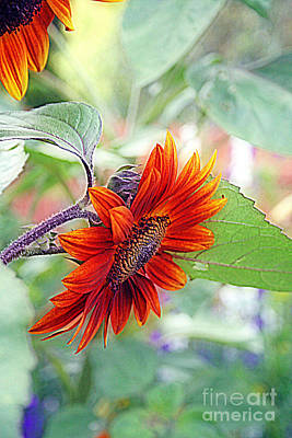 Photograph - Red Sunflower by Kay Novy