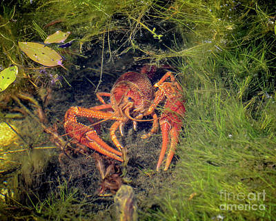 Photograph - Red Swamp Crayfish by Amy Porter