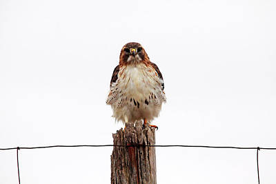 Photograph - Red Tail by Debbie Oppermann