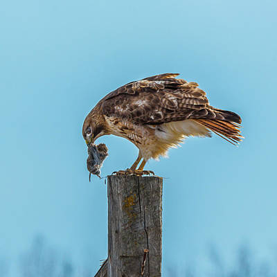 Photograph - Red-tail Dinner by Yeates Photography