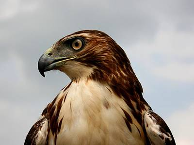 Photograph - Red Tail Hawk 1 by David Dunham