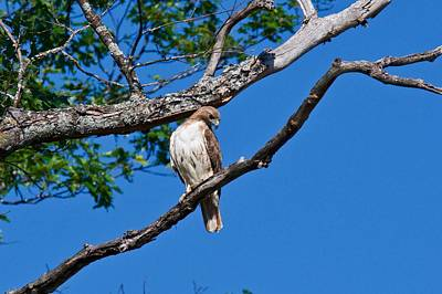 Photograph - Red-tail Hawk 6809 by Michael Peychich