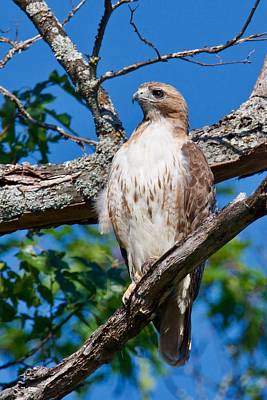 Photograph - Red-tail Hawk 6813 by Michael Peychich