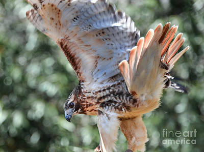 Photograph - Red Tail Hawk by Amy Porter