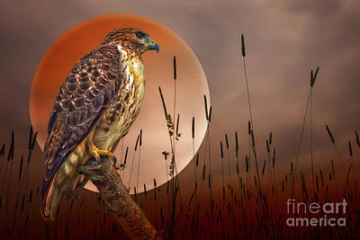 Red Tail Hawk Photograph - Red Tail Hawk At Rest by Tom York Images