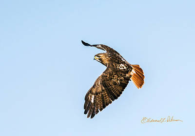 Photograph - Red-tail Hawk In Flight by Edward Peterson